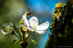 Biene mit Apfelblüte im Flug