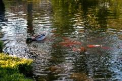 Teich Enten Fische