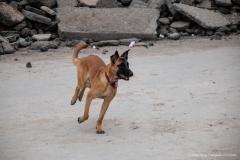 Suchhund des Roten Kreuzes